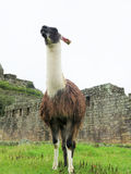 Llama at terraces and ancient houses Machu Picchu Royalty Free Stock Image