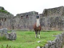 Llama at terraces and ancient houses Machu Picchu Royalty Free Stock Photography