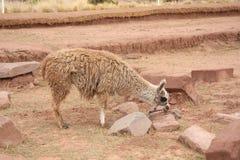 Llama in Tiwanaku ruins, Altiplano, Bolivia stock images