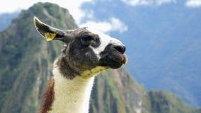 Llama in the top of the Machu Pichu