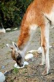 Llama in Torres del Paine Stock Photo