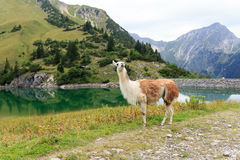 Llama at the Traualpsee Royalty Free Stock Images