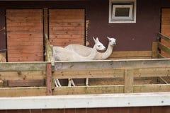 Llama, two lamas, farm domestic animal. Farm. Llama, two lamas, farm domestic animal Royalty Free Stock Image