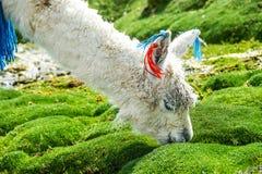 Llama, Uyuni, Bolivia. Cute llamas of Altiplano, Bolivia, South America Royalty Free Stock Photos