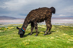 Llama, Uyuni, Bolivia. Cute llamas of Altiplano, Bolivia, South America Stock Photos