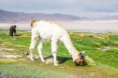 Llama, Uyuni, Bolivia. Cute llamas of Altiplano, Bolivia, South America Stock Images