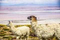 Llama, Uyuni, Bolivia. Cute llamas of Altiplano, Bolivia, South America Royalty Free Stock Image