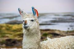 Llama, Uyuni, Bolivia. Cute llamas of Altiplano, Bolivia, South America Royalty Free Stock Photography