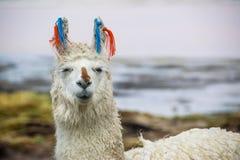 Llama, Uyuni, Bolivia. Cute llamas of Altiplano, Bolivia, South America Stock Image