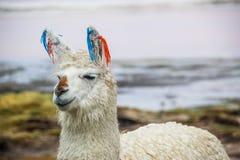 Llama, Uyuni, Bolivia. Cute llamas of Altiplano, Bolivia, South America Royalty Free Stock Photo