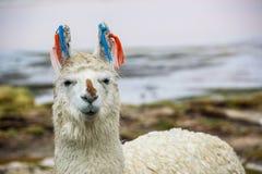 Llama, Uyuni, Bolivia Stock Images