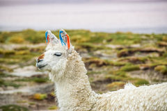 Llama, Uyuni, Bolivia Royalty Free Stock Image