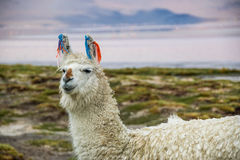 Llama, Uyuni, Bolivia. Cute llamas of Altiplano, Bolivia, South America Stock Photography