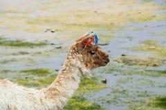 Llama, Uyuni, Bolivia. Cute llamas of Altiplano, Bolivia, South America Royalty Free Stock Images