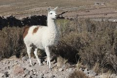 Llama in the vicinity of Coquesa - Thaua Village, Salar de Uyuni, Bolivia Royalty Free Stock Photography