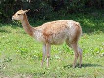 Llama Vicugna βοσκή - πλάγια όψη Στοκ Εικόνες