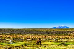 Llama and volcano Lascar in the Altiplano of Bolivia. View on Llama and volcano Lascar in the Altiplano of Bolivia stock photos