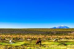 Llama and volcano Lascar in the Altiplano of Bolivia stock photos
