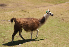 Llama walking head up. One brown and white lama walking with head up on a grass field. Lama glama Royalty Free Stock Photography