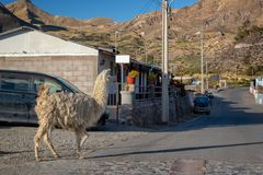 Llama walking in a street of Putre Chile. Llama walking in a street of Putre, Chile royalty free stock photos