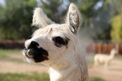 Llama. White colored large llama with big eyes and ears watching stock photos
