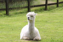 A llama. A white llama lying in a field Stock Photos