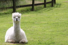 A llama. A white llama lying in a field Royalty Free Stock Images