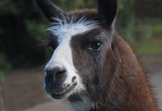 Llama with a white muzzle Stock Image