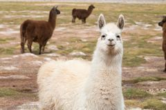Llama in the wild in the Andes. Extraordinary animals that live in the Andes, the wool is used for blankets, sweaters and traditional ponchos royalty free stock image