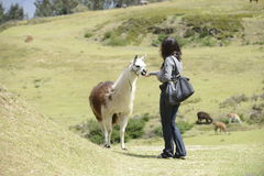 Llama and a woman. A woman is approaching a llama royalty free stock photos