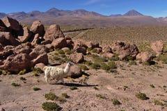 Llama (Lama glama) grazing in a rocky mountainous field. Royalty Free Stock Photography
