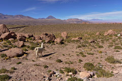Llama (Lama glama) grazing in a rocky mountainous field. Stock Photo