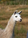 Llama (Lama glama) Royalty Free Stock Photography