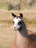 Llama (Lama glama) Royalty Free Stock Images