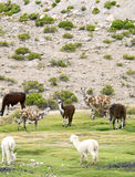 Llama y alpacas, Perú Foto de archivo libre de regalías