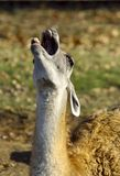 Llama yelling loudly. When to the llama it became boring it has loudly cried Stock Image