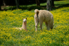 Llama and young. Llama and her young in field of buttercups Royalty Free Stock Photo
