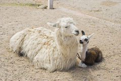 Llama and Young Sitting Stock Photos