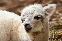 Llama Stock Photo