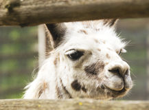 Llama in zoo Stock Image