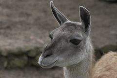 Llama1 Royalty Free Stock Photo