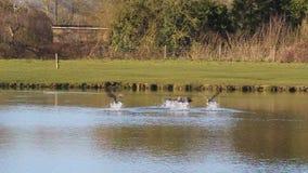 Llamada de los gansos que sacan de un lago almacen de video