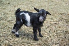 Llaman el bebé de desfallecimiento de la cabra en heno de la yarda de granero un niño fotografía de archivo libre de regalías