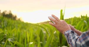 Llamarada de la lente: granjero con una tableta para supervisar la cosecha, un campo de maíz en la puesta del sol Granjero del ho metrajes