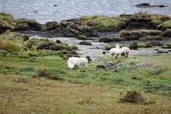Llamas από τη λιμνοθάλασσα στην οικολογική επιφύλαξη Antisana Στοκ Φωτογραφίες