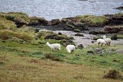Llamas από τη λιμνοθάλασσα στην οικολογική επιφύλαξη Antisana Στοκ Φωτογραφία