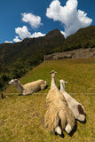 Llamas βοσκή Στοκ φωτογραφία με δικαίωμα ελεύθερης χρήσης