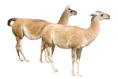 llamas δύο Στοκ Εικόνα