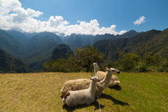Llamas που βόσκουν και που ξαπλώνουν στην ιερή χλόη Machu Picchu Ευρεία άποψη γωνίας με το φυσικό ουρανό Στοκ Εικόνες