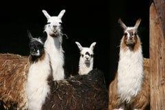 llamas που κοιτάζουν έξω Στοκ Εικόνα
